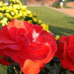 'Royal' Roses, Jammu Tulips And Air-Purifying Plants: Mughal Gardens To Open From Tomorrow