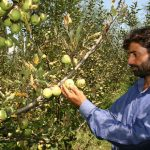 Extreme Weather, Covid Hit Apple Crop