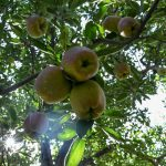 J&K Plans To Get Apples Via NAFED, Growers Unmoved