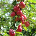 Kashmir Registers 40% Decline In Fruit Exports