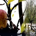 Apple Orchards Damaged Due To Heavy Snowfall In Pulwama