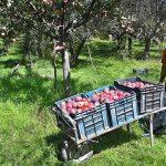 Apple Traders Moved To Jammu & Kashmir 'Safe Houses'